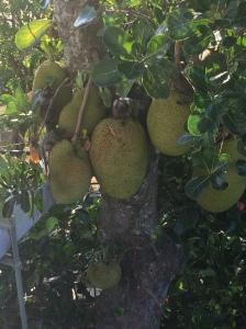 Monos on Jaca fruit